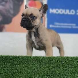 Bulldog francés listo para ti con 45 días de vida