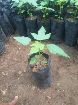 Plantas de Papaya Híbrida Tainung