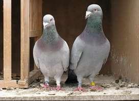 Venta de palomas y pichones