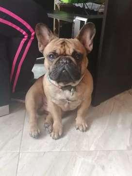 Busco novia Bulldog francés