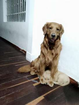 Vendo Golden Retriver . con Pedigrí .