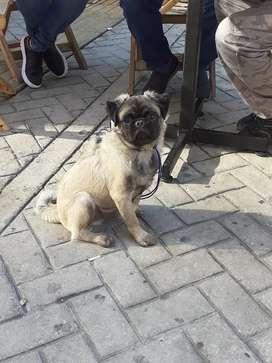 Hermoso Pug macho busca novia