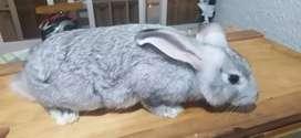 Conejo chinchilla 3 meses y medio macho