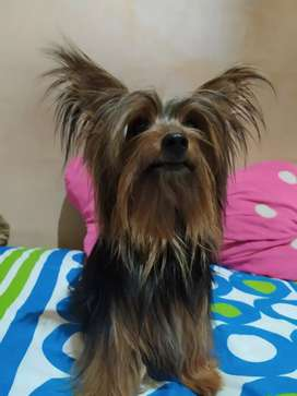 Se ofrece Yorkshire Terrier Mini para Monta