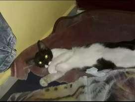 Se da en adopción gatica blanca con negro