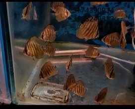 vendo crias de peces disco genetica importada heckel coss de 4-5 cm