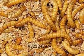 Tenebrio molitor o gusano de harina