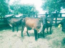Ventas Permanente de Vacas Lecheras