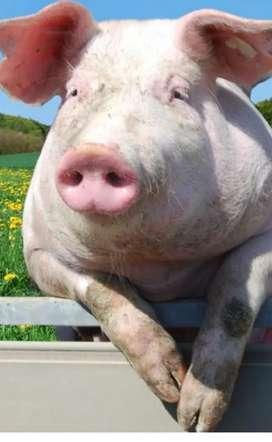 Harina de maiz  y yuca para cerdo