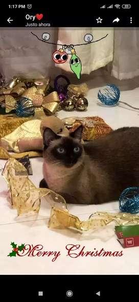 Adopta Hermosa gata siamés de 5 años