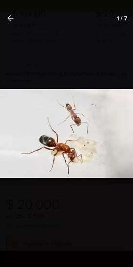 Vendo hormiga reina Dorymirmex