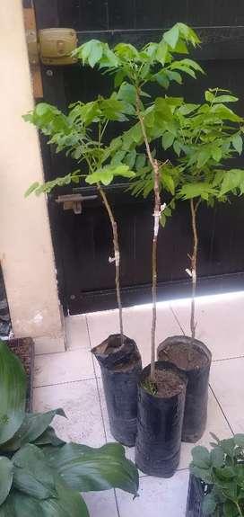 Planton de Pecana