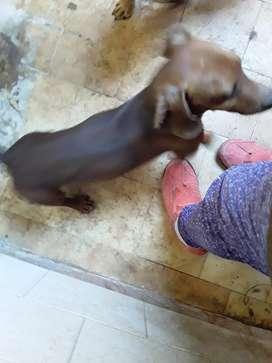 Doy en adopcion responsable perro salchicha puro