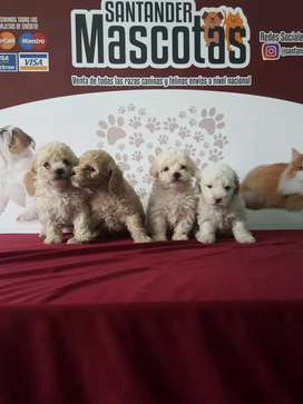 Originales french poodle Mini