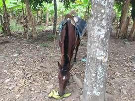 Vendo yegua joven y mansa está preñada de caballo  la vendo por viaje
