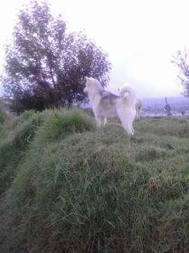 huski macho para montas