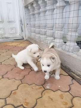 Vendo perritas uski siberiano ojos azules cachorros