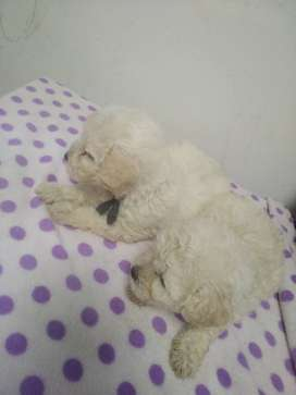 Perro french poodle