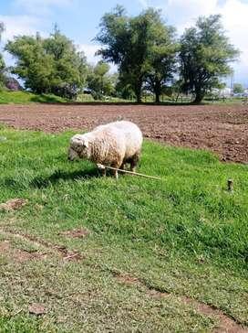 se vende ovejo  romey marsch