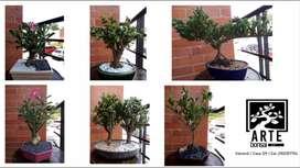 Hermosos bonsai regala vida y prosperidad