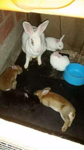 Conejos rex antialergicos 2 meses de edad