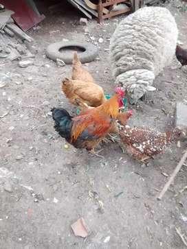 SE VENDEN gallinas criollas