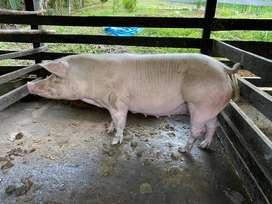 Vendo pareja de porcinos para cria encimo ,3 crias