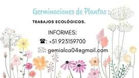 Venta de plantas germinadas