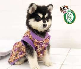 cachorros Siberiano,golden,yorkshire,chihuahua,cocker,bulldog,samoyedo,bull terrier,beagle,pug,labrador,pas en Pet Vital