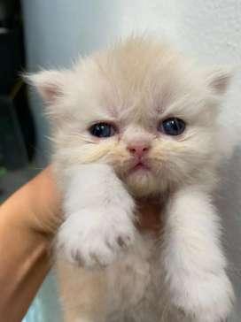 Gatos persa extremo ojos azules