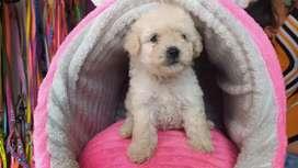 ULTIMO machito poodle en venta
