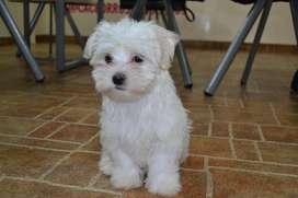 Cachorros Bichón Maltés Criadero Canino