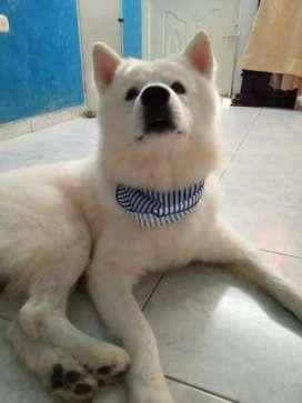 Busco novia para mi perro samoyedo