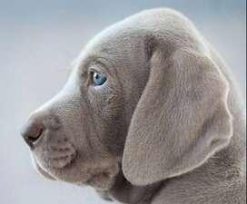 braco weimaarner maravillosa raza ya disponible cachorros  de mes y medio de edad