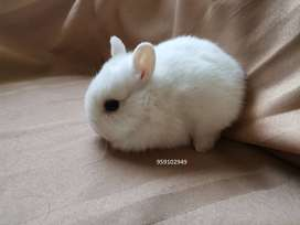 Conejos Enanos (La Molina)