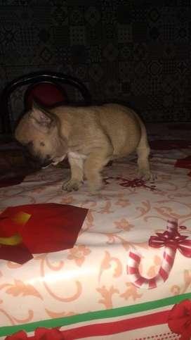 Ultima bulldog frances fawn hembrita bella