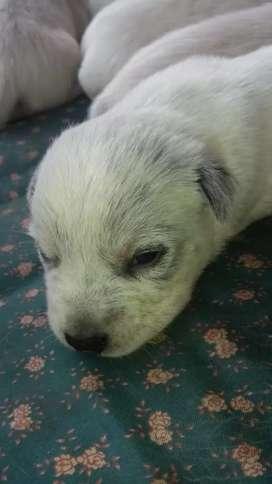 Se venden hermosos cachorros de raza pastor australiano azules y rojos