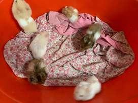 Vendo Hamsters