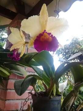 Se vende orquideas