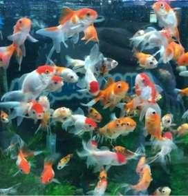 Los mejores precios de peces por mayor y menor Agua fria y tropical..próximamente marinos..