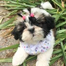 chiquiticos cachorros shitzu de 59 dias