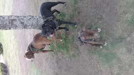 Cachorro pitbull 3 meses