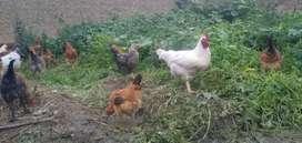 Venta de gallos y gallinas