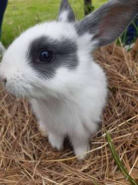 Conejos de 35 días de nacidos.