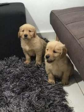Golden machos y hembras de 48 días