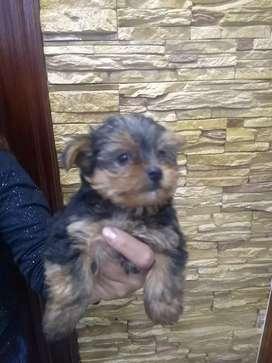 Se venden hermosas cachorras York Shire terrier