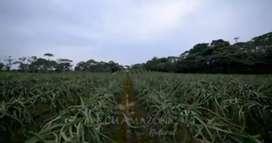 Finca de pitahaya y otros cultivos