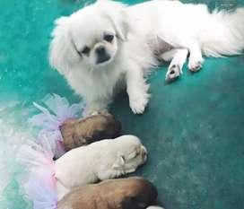 Cachorras raza pekines