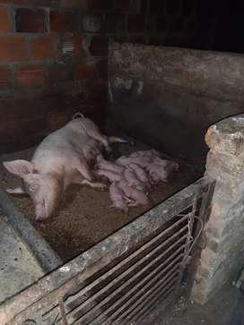 Cerdos levante lindos a la venta