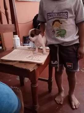 Perro Jack russel